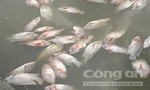 Đập thủy lợi xả nước, hàng chục tấn cá chết phơi lồng bè