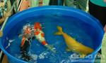 """Cá Koi """"khủng"""" thi tài tại TP.HCM"""