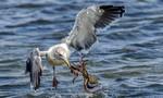 Cuộc chiến khốc liệt giữa hải âu đói mồi và bạch tuộc