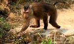 Khỉ lại cắn người gây thương tích tại bán đảo Sơn Trà