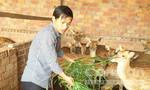 Thu bạc tỷ mỗi năm nhờ nuôi hươu sao lấy nhung