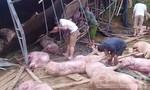 Xe chở lợn bị lật, cả làng thức trắng đêm vây bắt