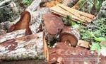 """Nghi vấn có dấu hiệu """"buôn lậu""""  ở các xưởng gỗ lớn tại Gia Lai"""