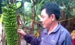 Kỳ lạ buồng chuối trổ 150 nải ở Quảng Bình