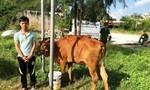 Bắt nhóm đối tượng chuyên dùng xe tải trộm bò của người dân
