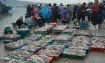 Ngư dân Hoàng Mai 'hốt bạc' nhờ 'trúng đậm' cá