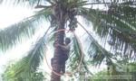Cụ ông trèo cây hái dừa ở tuổi... 89!