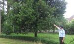 Ngỡ ngàng cây đại thụ tỷ đô trong biệt thự cổ giữa thành phố Đà Lạt