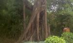 Chiêm ngưỡng hai cây đa đại thụ 200 năm tuổi ở Bến Tre