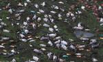 Hơn 16.000 con heo chết đuối trong cơn lũ
