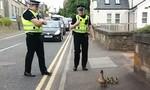 Cảnh sát hộ tống…vịt