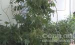 Lâm Đồng: Thuê nhà để trồng cần sa