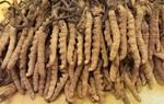 Sản xuất thành công loài Đông trùng hạ thảo nguồn gen Cordyceps Sinensic