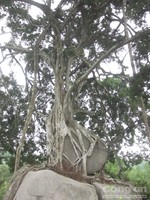 """Cây sanh """"độc nhất vô nhị"""" trở thành cây di sản Việt Nam"""