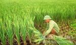 Nông dân xót xa thu hoạch lúa lép không hạt