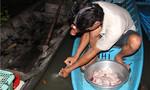 Nông dân đua nhau chích nước kênh chảy từ cống vào 'đặc sản' đồng quê để tăng trọng