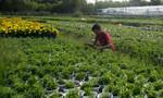 Người trồng hoa tất bật chuẩn bị hoa tết năm Bính Thân