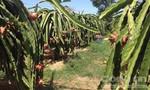 Tin vui cho người trồng thanh long Bình Thuận