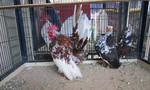 Vẫn còn tình trạng nuôi gà đá, gà kiểng không an toàn trong nội thành Sài Gòn