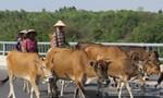 Hàng trăm trâu, bò của 31 hộ dân bị lở mồm long móng