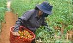 Cà chua Lâm Đồng tăng giá gấp 3 lần do dịch bệnh 'hoành hành'