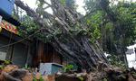 Cây đa gần trăm tuổi ngã vào nhà dân ở Sài Gòn