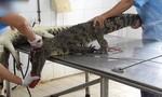 Hình ảnh lột da cá sấu tại Việt Nam lên website của PETA