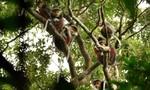 """Năm khỉ nói chuyện voọc trên """"bán đảo Tề thiên""""- Kỳ 3:  Đau đáu với voọc"""