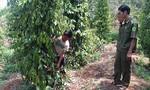 Gần 500 cây tiêu đang cho thu hoạch bị cắt gốc trong đêm