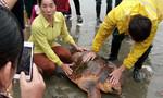 Một ngư dân thả rùa biển quý hiếm 70kg ra biển khơi