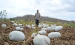 Trồng nông sản theo cảm tính: Bí đao để thối đồng, người dân rục rịch qua trồng chanh dây