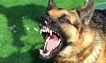 Chó dại cắn 7 người, một thai phụ tử vong