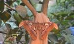 Phát hiện bướm khổng lồ khi đi tưới cây
