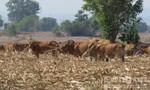 Trâu chết, bò còn da bọc xương vì khô hạn