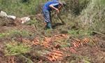 Cà rốt rớt giá, nông dân Đà Lạt điêu đứng
