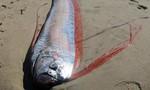 Cá hố dài gần 3m chết, dạt vào bờ biển Bình Thuận