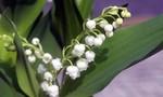 Tặng hoa huệ chuông ngày quốc tế Lao động