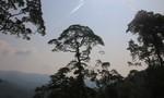 Kỳ 2: Bảo vệ cây Pơmu như mạng sống của mình