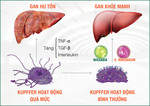Kiểm soát tế bào Kupffer để bảo vệ gan tối ưu