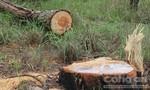 Vào cuộc điều tra vụ lâm tặc 'cày' nát rừng thông, chính quyền địa phương không biết