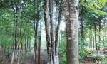 Bình Thuận ngăn nhiều nhóm người vào rừng tìm trầm