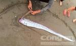 Phát hiện cá mái chèo bị chết dạt vào bờ