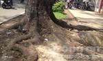 Nơm nớp lo sợ cây bật gốc ở Sài Gòn