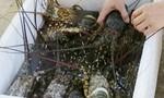 Đã tìm ra nguyên nhân tôm hùm, cá mú chết bất thường ở Phú Yên