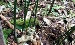 Một người dân sở hữu cây sâm Ngọc Linh 7 nhánh