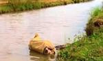 Tràn làn xác lợn chết trên kênh nước