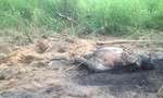 Phát hiện xác một voi rừng phân hủy trong vườn quốc gia
