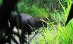 Phát hiện đàn bò tót trong Khu bảo tồn thiên nhiên Ea Sô