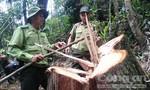 Dự kiến ngày 25-8 sẽ công báo vụ phá rừng pơ mu Quảng Nam