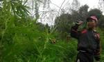 Tiêu hủy lượng lớn cây cần sa trồng trên núi